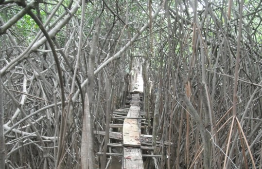 Mangrove swamp road