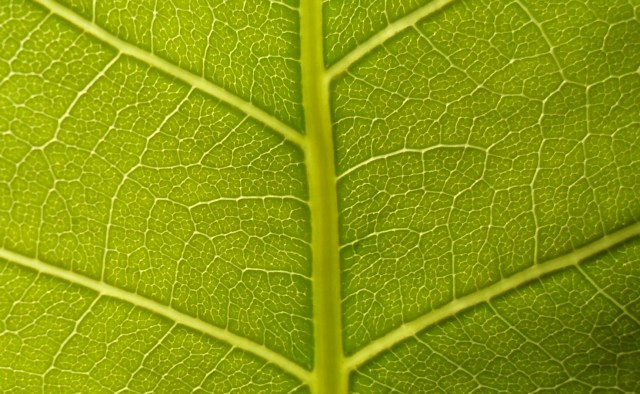 Magnified leaf capillaries