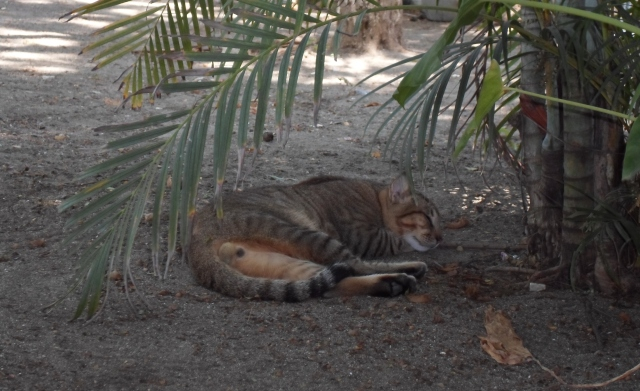 Costa Rica, beach, cat